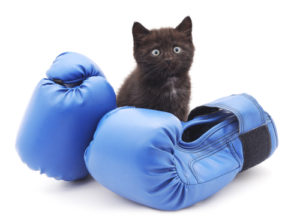 kitten with blue boxing gloves