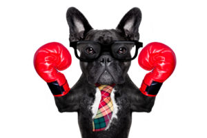 quality vs quantity: bulldog with tie and boxing gloves