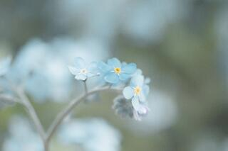 close up picture of a pale blue flower